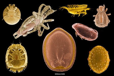 Selection of uropodine mites - center and lower right are ant associates
