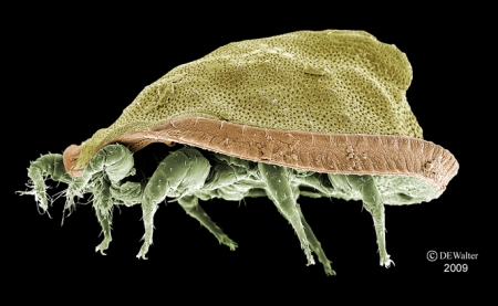 Uropodid mite or Elf hat?